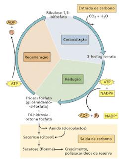 ciclo de calvin-benson