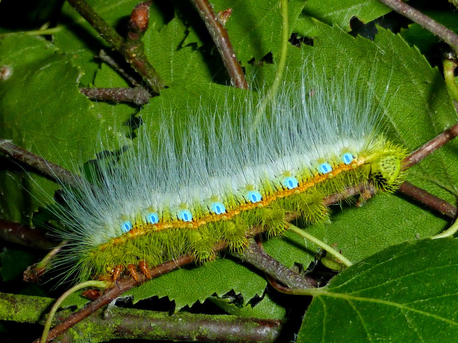 Caligula simla L4 caterpillar