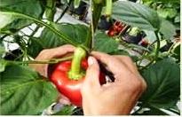 Cara pemotongan buah paprika