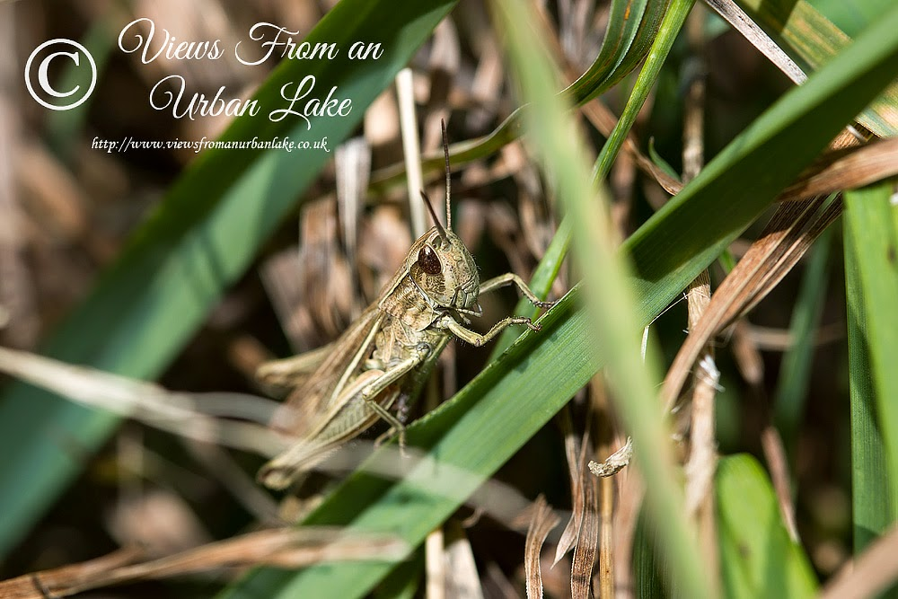 Meadow Grasshopper - Manor Farm, Milton Keynes