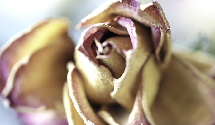 Rose, verblüht, gelb, Makro