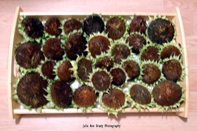 30 Chianti Hybrid Sunflower Heads for Drying