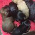 Χαριζονται Yorkshire Terrier Γιορκσαιρ Τεριε (ημιαιμα)