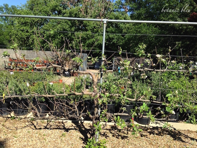 espalier-apple-tree-texas