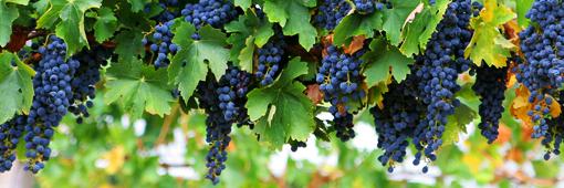 耶和華的律法: 真葡萄樹(約翰福音第十五章)