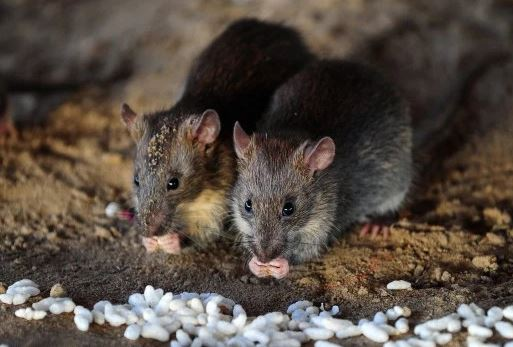 Danger Of Killings Rats With Poison - Expert