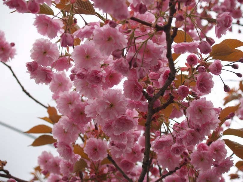flowers-petals-pink-spring