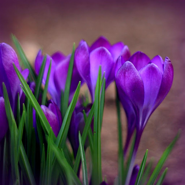 spring flowers© Annie Japaud Photography