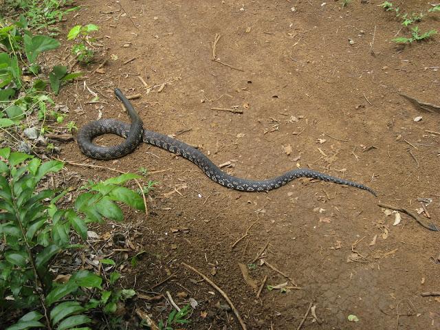 snake in ankarana national park