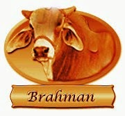 International Competition Red Brahman