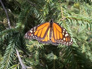 Monarch butterfly habitat restoration reforestation mexico colony oyamel fir
