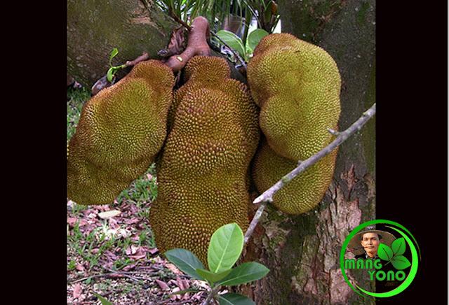 Nangka pohon pendek berbuaht lebat