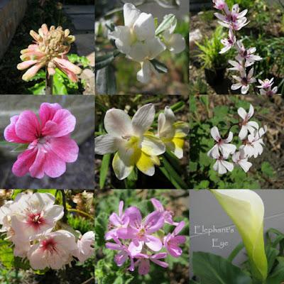 Veltheimia, Podalyria, vlei lily Pelargonium, Freesia, nutmeg Pelargonium Dombeya, Pelargonium, arum lily