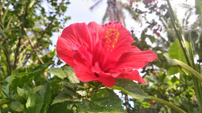 HDR camera Mode - Sample photo - Asus Zenfone Selfie hibiscus flower red gumamela