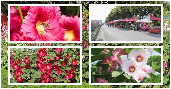 《彰化.員林》2018愛在員林,蜀葵花觀光文化季,免費參觀,還有熱鬧的蜀葵市集