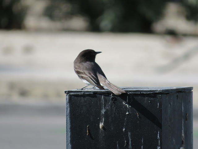 Another Bird in Urban Palm Springs Winter 2018