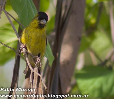 """alt=""""cabecitanegra austral,Spinus barbatus,cabecitanegra de Mendoza)"""