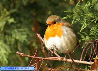 Rouge-gorge familier - Erithacus rubecula