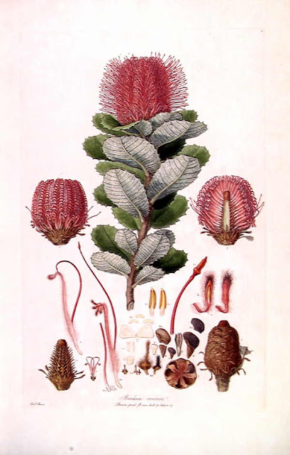 Botanical illustration of Banksia coccinea