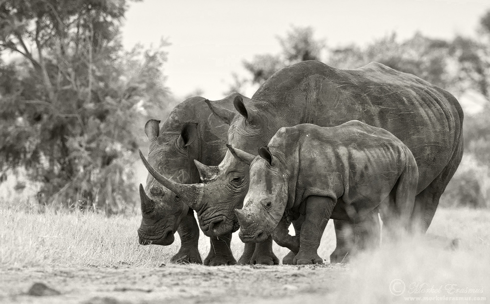 The Crash of the Rhinos