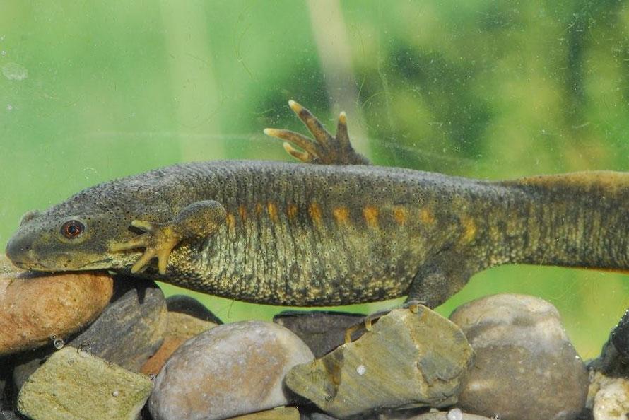 Amphibians: Sharp-ribbed Newt - Pleurodeles waltl