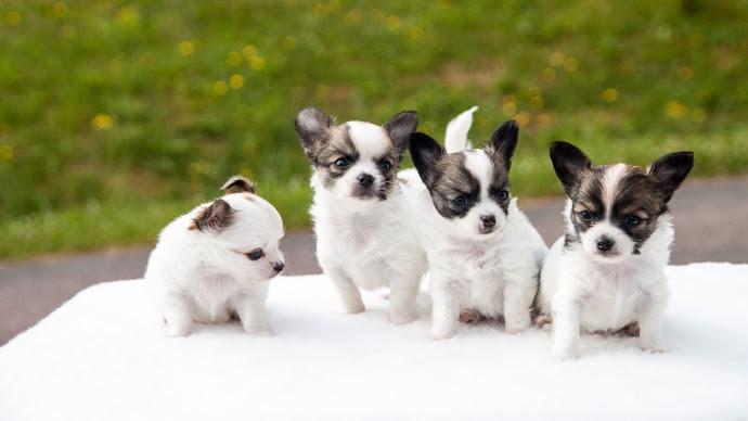 Wallpaper: Chihuahua Puppies