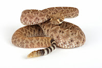 Western Diamondback snake poised to strike