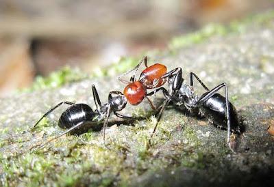Workers of Camponotus saundersi engaging in trophallaxis