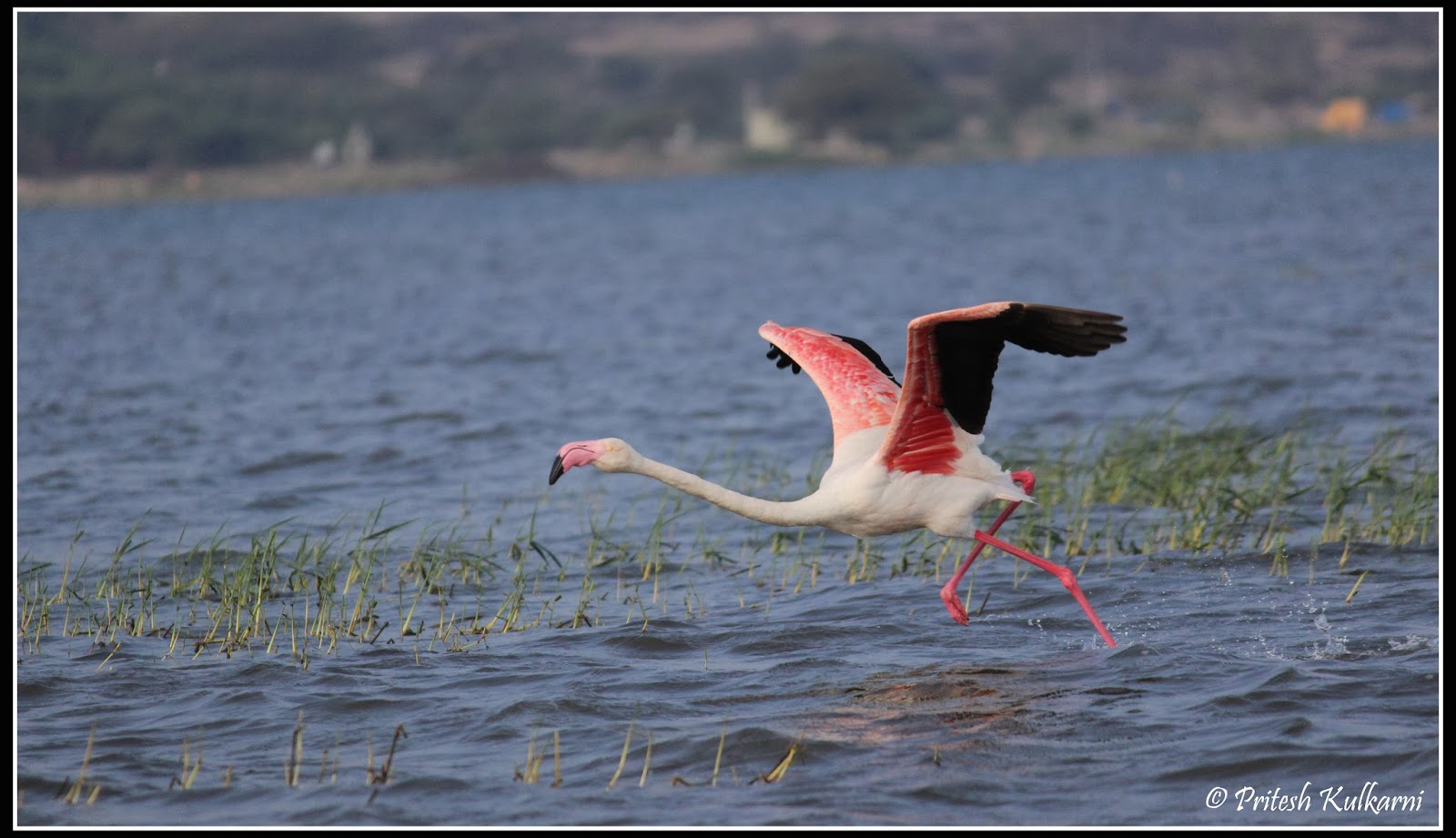 Greater Flamingo in take off position