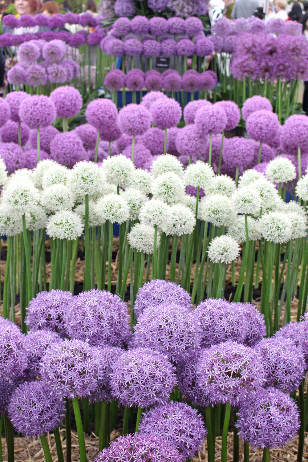 Alliums at Chelsea Flower Show 2018 - London lifestyle blog