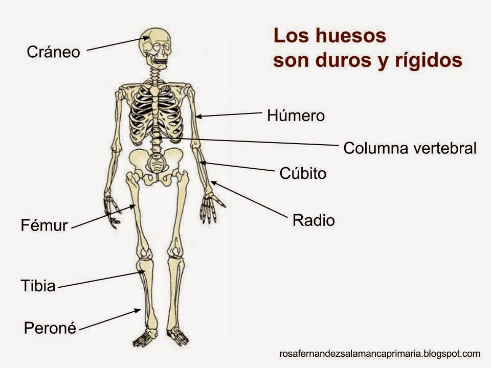 Imagenes Del Esqueleto Humano Con Los Nombres De Los Huesos