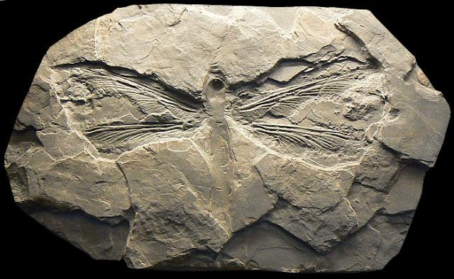 """Résultat de recherche d'images pour """"le meganeuropsis permiana"""""""