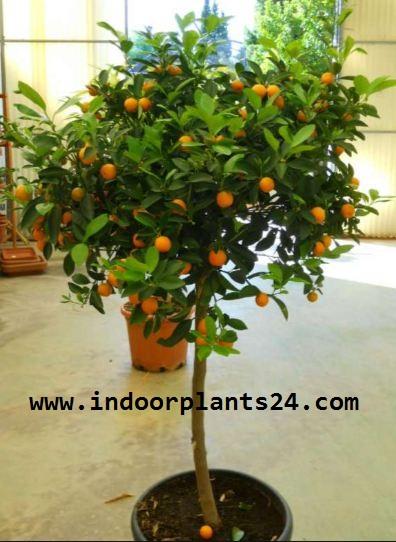 Rutaceae CALAMONDIN PLANT IMAGE
