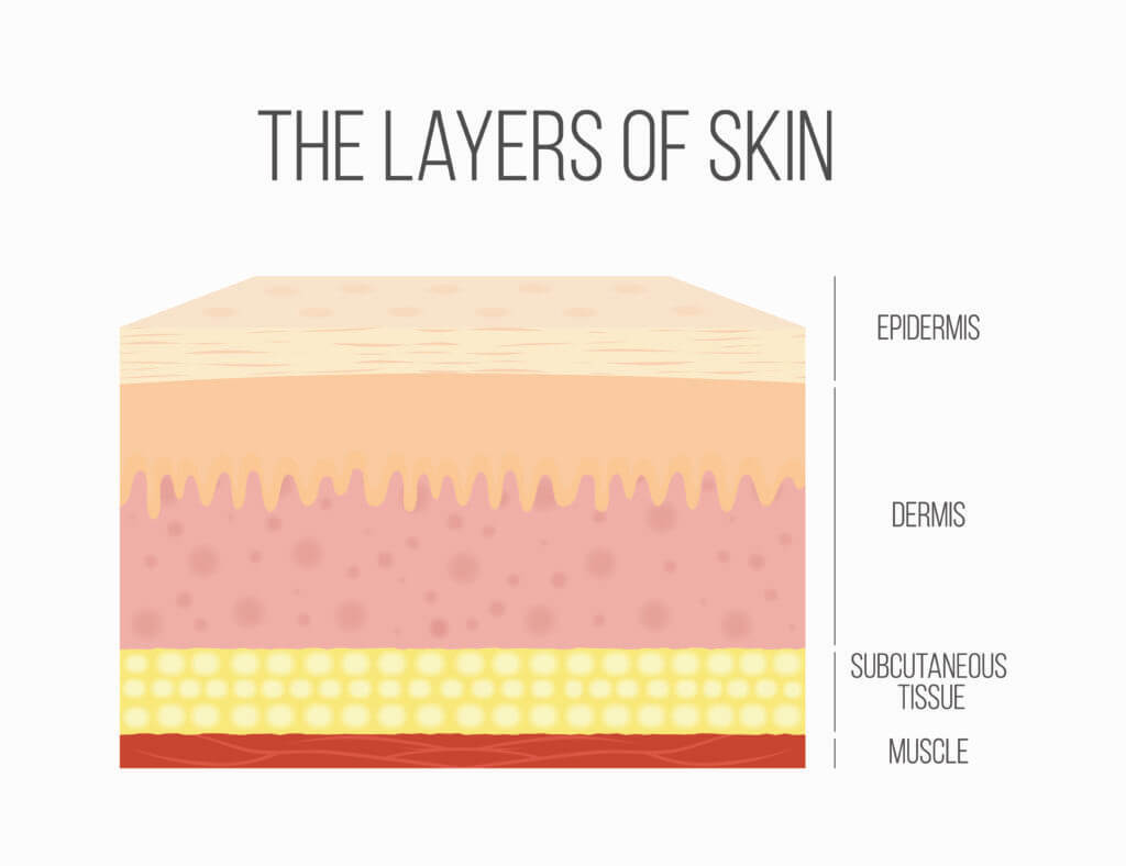 The primary layers of the skin