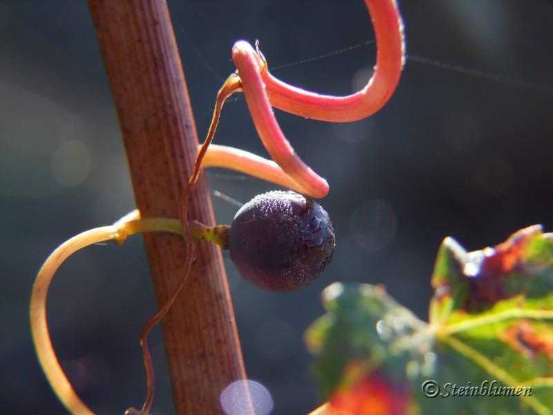 Makrobilder Weintrauben