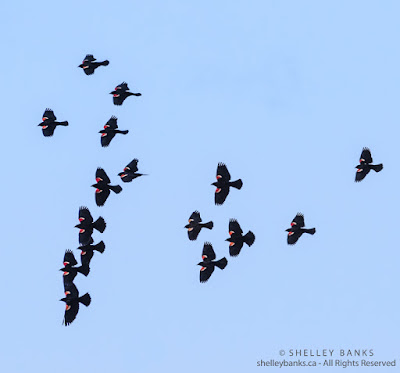 Red-winged Blackbirds, Copyright  © Shelley Banks, all rights reserved