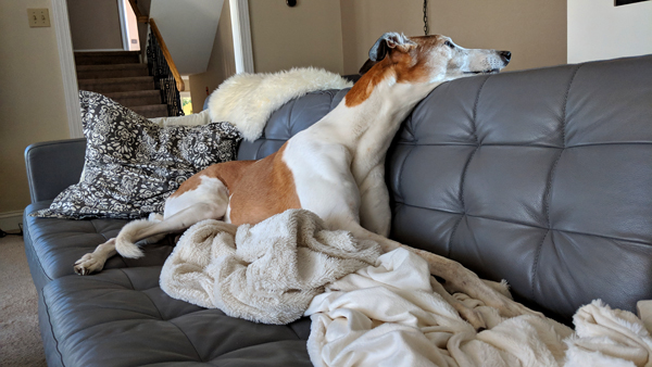 image of Dudley the Greyhound stretched out on the sofa, with his neck craned up and backward so that he can peer over the back of the sofa