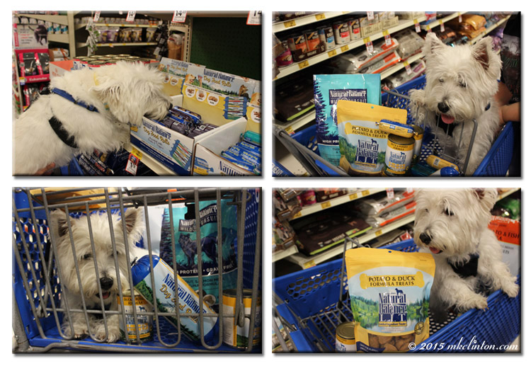 Westie enjoying Natural Balance shopping at PetSmart