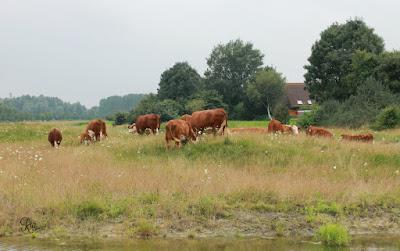 Hereford koeien Kardinge