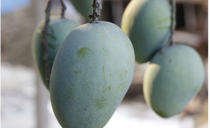 Benefits of mango juice.Best 3 informations.