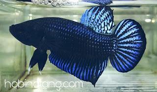 ciri ciri Ikan Cupang Aduan yang Bagus