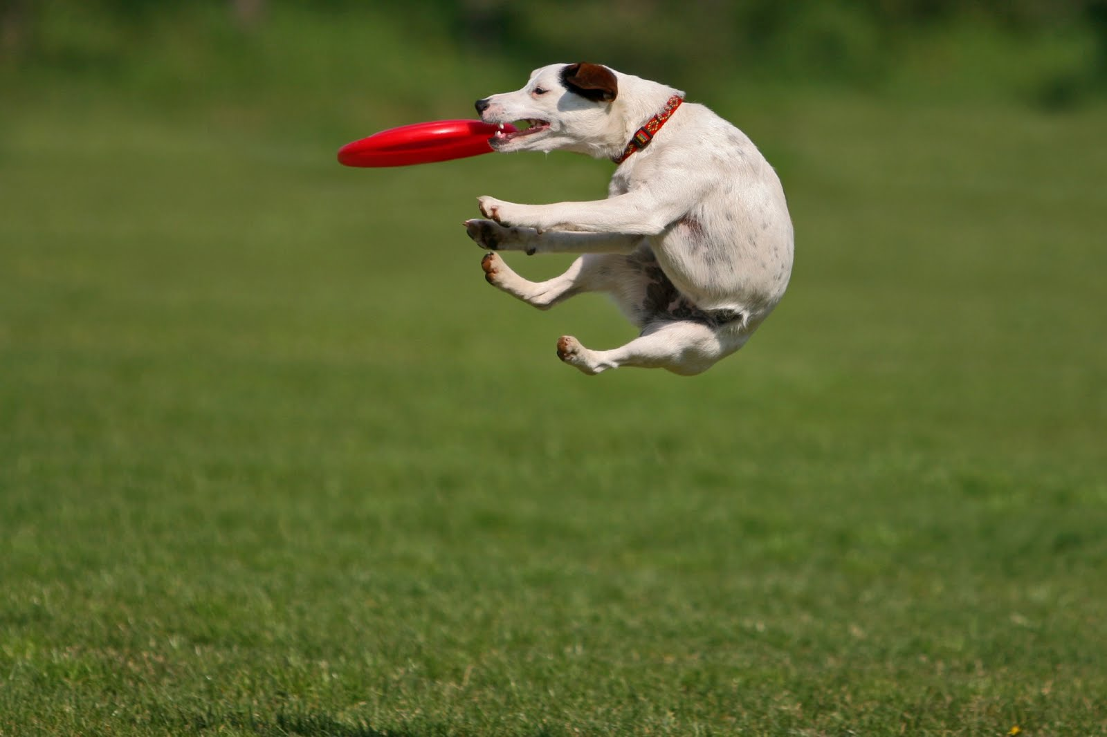 Such Good Dogs: Frisbees
