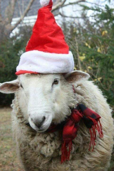 čestitke za božić vicevi Svaštara   Smiješne Slike   Vicevi   SMS: Smiješna ovca ukrašena  čestitke za božić vicevi