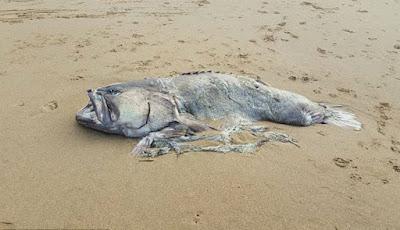 Bangkai ikan yang terdampar di pantai