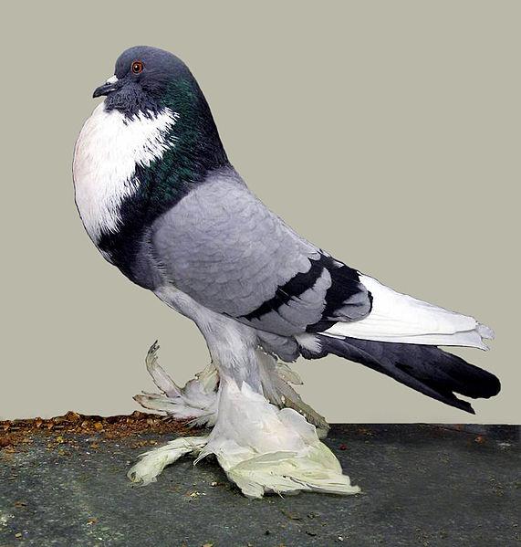 Pomeranian pouter-cropper - Pigeons fall