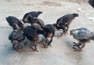 anak ayam kampung super murah