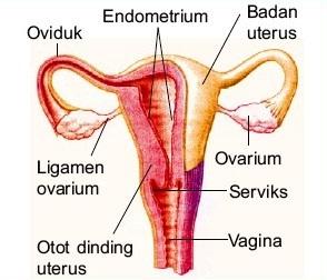 Sistem Reproduksi Pada Manusia