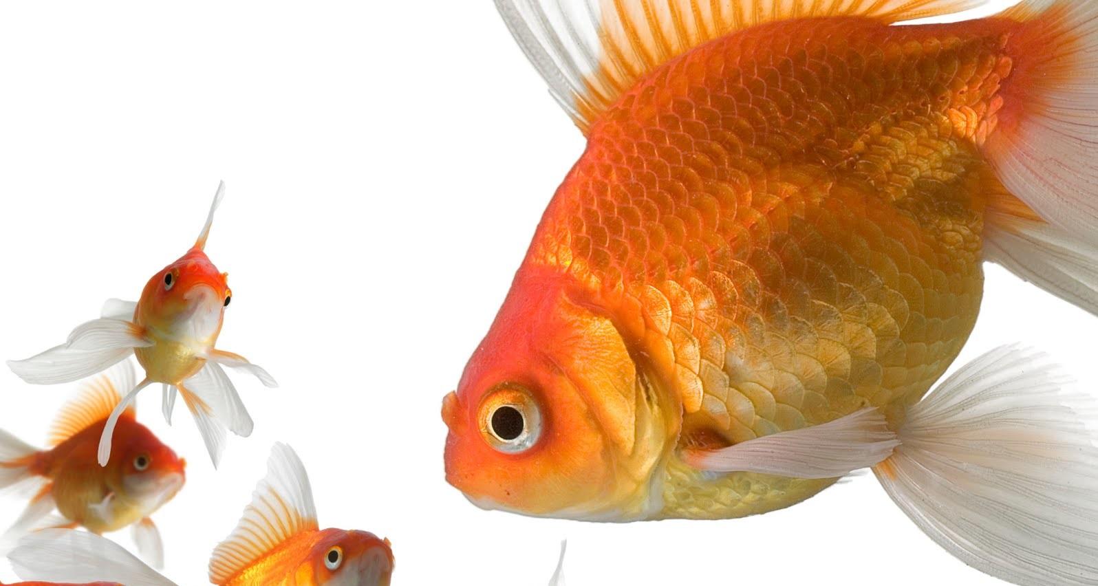 Goldfish, 15 Características Que Tienes Que Saber Sobre El Pez ...