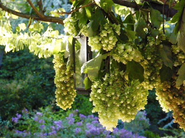 Pendulous hydrangea blooms suspended to dry are backlit by the setting sun.