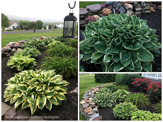 Gardening: Tips on How to Grow Amazing Hostas